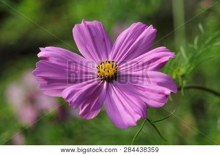 Portrait Of Pink Mexican Aster (garden Cosmos) Flower In The Summer Garden. Macro Photography Of Nat