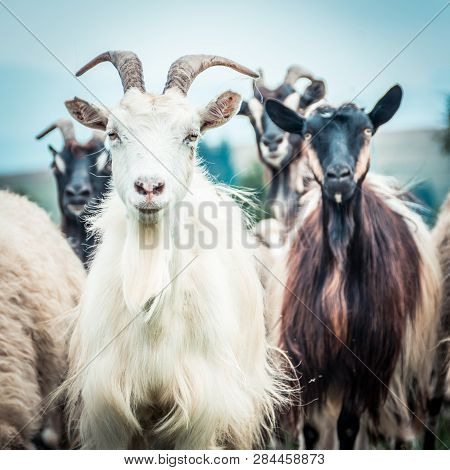 Portrait Of Domestic Goat On The Pasture