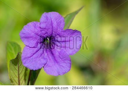 One Beautiful Close Up Of A Purple Wild Petunia (fringeleaf Wild Petunia, Hairy Petunia, Low Wild Pe