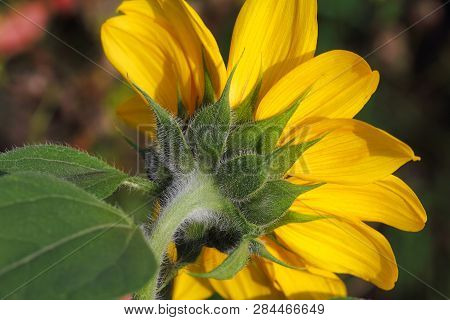 Close-up Of Sunflower In The Summer Garden. Macro Photography Of Nature.