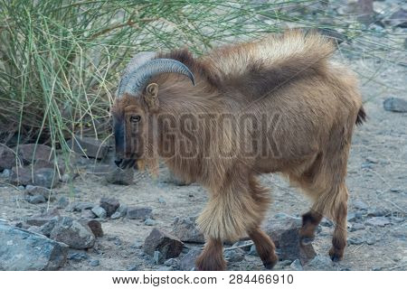 Arabian Tahr Walking Through A Rocky Path. Profile View (arabitragus Jayakari).