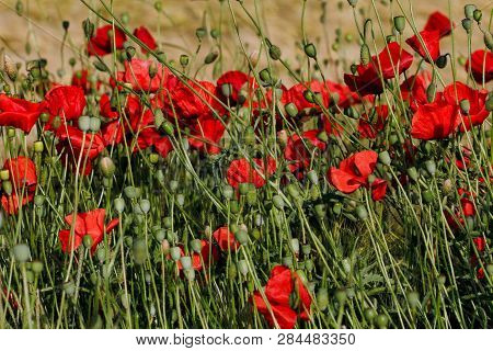 View Of Wild Autumn Field With Papaver Flowers. Macro Photography Of Nature.