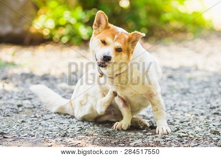 Itchy Dog Scratching Its Skin.health Problem Of Pet.