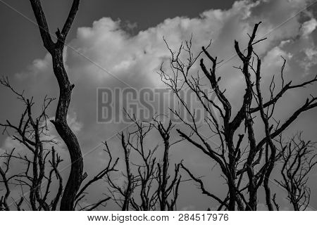 Silhouette Dead Tree  On Dark Dramatic Grey Sky And White Cumulus Clouds Background For Scary, Death