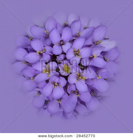 Iberis Flower Head blending into the Pink Blue Background