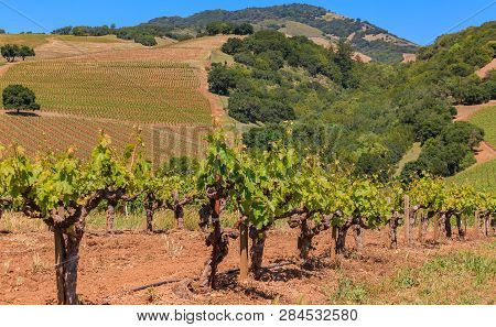 Close View Of Old Grape Vines And Rolling Hills At A Vineyard In The Spring In Sonoma County, Califo