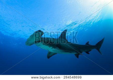 Great Hammerhead Shark (sphyrna Mokarran) Against Blue Water And Surface. Tiger Beach, Bahamas