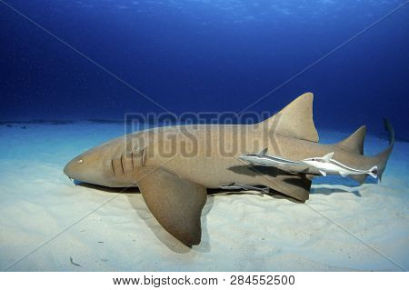 Nurse Shark (ginglymostoma Cirratum) With Three Remoras, Along White Sand Bottom And Against Blue Wa