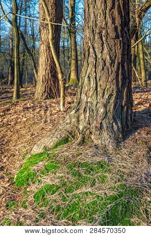 Forest Floor Around A Scots Pine Tree. It Is A Sunny Day In The Dutch Winter Season. The Photo Was T