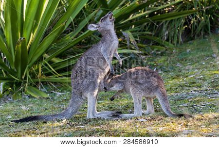 The Wild Famale Kangaroo Feeding Her Joey From The Pouch. Australia