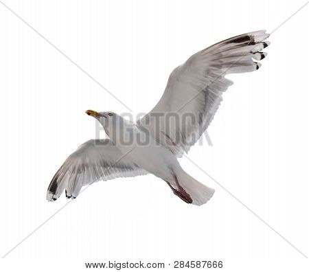 Seagul In Flight Isolated On White Background