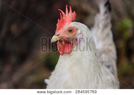 Portrait Of White-greiy Hen On The Farm. Photography Of Nature And Wildlife.