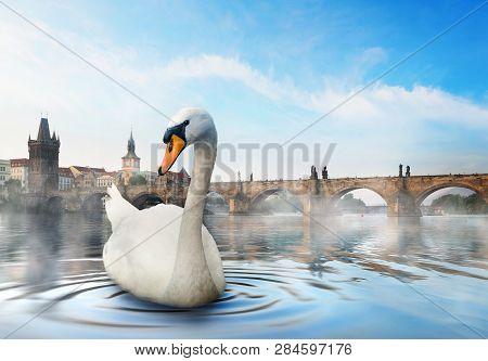 Swan On River Vltava Near Charles Bridge In Prague At Foggy Morning
