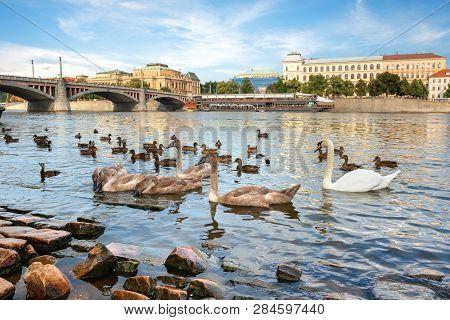 Birds On Riverbank In Prague Near Manesuv Bridge