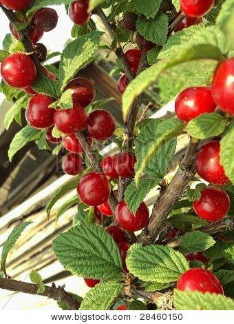 Cherries On A Branch Surrounded By Leaves