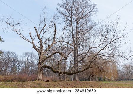 Big Oak Tree, Big Old Oak (plantae Quercus Fagaceae) Tree In The Forest With Huge Dry Branches As Fr
