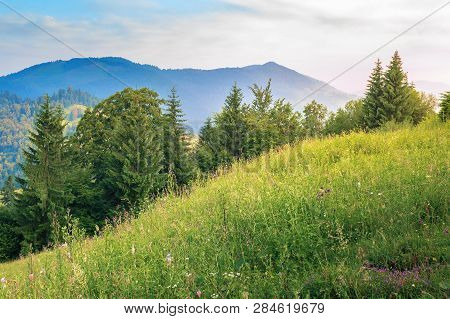 Conifer Trees On A Grassy Hill. Beautiful Summer Scenery In Mountains At Sunrise. Meadow With Wild H