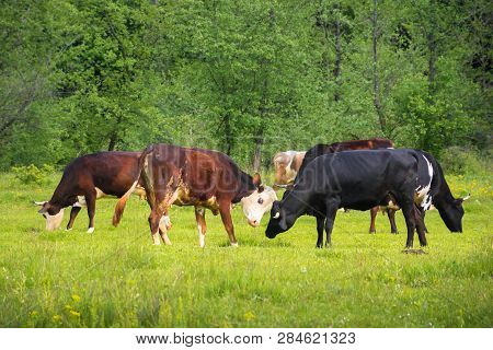 Cow Cattle Grazing Near The Forest. Ginger And Black Cow Fighting Green Grassy Meadow. Rural Natural