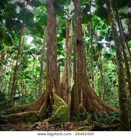 gigantic trees in fan palm rainforest queensland Australia cape tribulation daintree rain forest pristine jungle in nature reserve