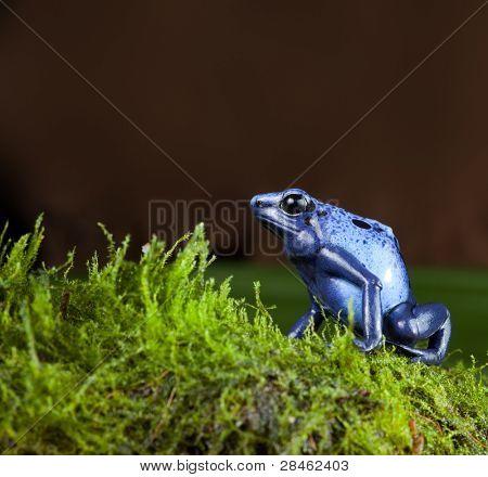 blue poison dart frog of amazon rainforest in jungle terrarium tropical exotic poisonous toxic pet animal amphibian of amazonian rain forest suriname