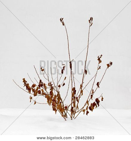Dry Bush Against A White Wall, Below The Snow