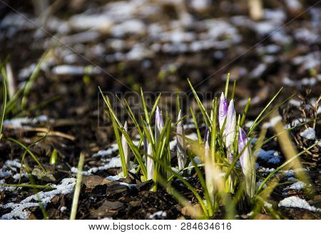 Nature Concept-beautiful Spring Landscape With Flowers Under Snow. Snowdrop In Full Bloom Get Out Fr