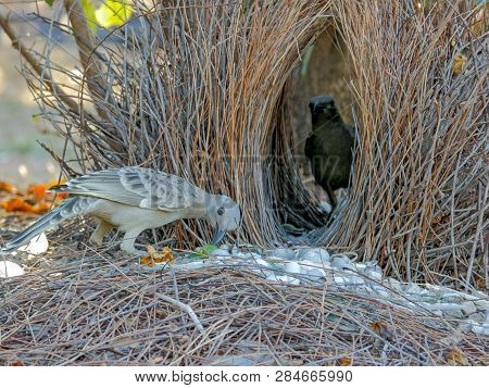 Two Young Bowerbirds Practice At A Bower Of Twigs