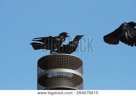 This Is An Image Of Two Birds Protecting Their Resting Place Taken On A Clear Sunny Day In Carmel, C