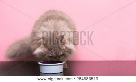 Fluffy Gray Cat Eats Pet Food From A Plate On A Pink Background. Eating Pets. A Cat Eats A Cat Food