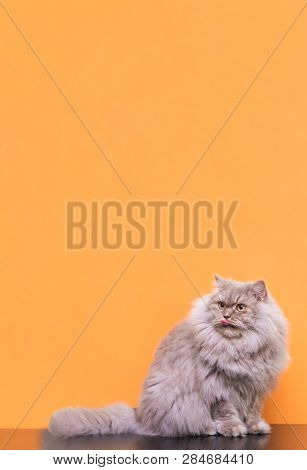 Gray Fluffy Cat Lies On A Pink Pastel Background, Licked And Looks Up On Copyspace. Cat Is Lying And