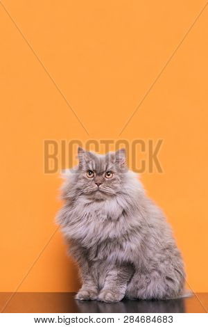 Beautiful Large Fluffy Cat On A Pink Background, Looking Up On Copyspace. Gray Adult Cat Lying On A
