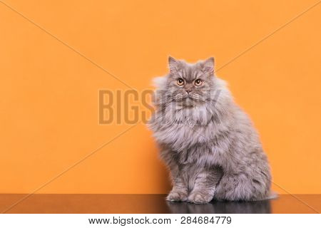 Photo Of A Fluffy Gray Cat Sitting On An Orange Background And Looking Up. Beautiful Cat Is Isolated