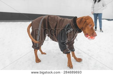 Brown Dog In The Breed Magyar Vizsla In Winter Clothes With A Ball In Their Teeth During The Winter