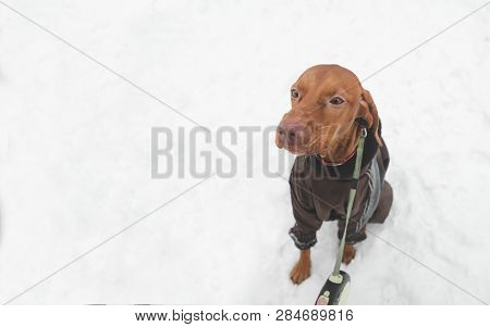 Beautiful Brown Dog Breed Magyar Vyzsta On A Leash Against The Background Of Snow, A View From Above