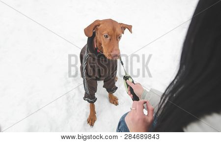 Beautiful Brown Dog Breed Of Magyar Vizsla In Clothes And On A Leash And Hand Of A Woman Playing Wit