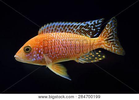 african cichlid Aulonocara Firefish