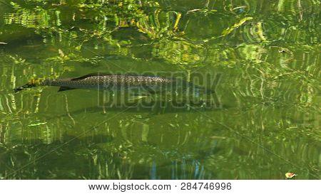 Shot Of A Large Barramundi Swimming In A Billabong