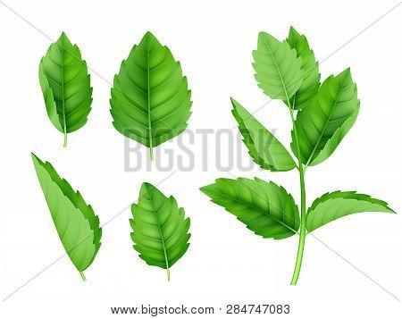 Mint Leaves. Menthol Spearmint Fresh Smell Nature Product Vector Realistic Template. Illustration Of