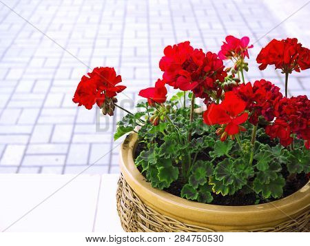 Red Garden Geranium Flowers In A Pot. Street Decoration Close Up Shot