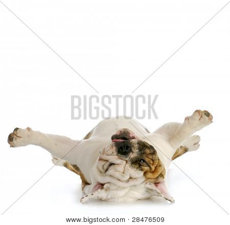 dog upside down - english bulldog laying on back looking up poster