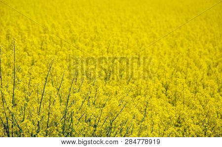 Yellow Rapeseed Flowers Crop Photo With Shallow Depth Of Field