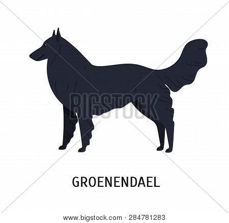 Groenendael Or Belgian Shepherd. Lovely Dog Of Herding Breed Or Sheepdog Isolated On White Backgroun