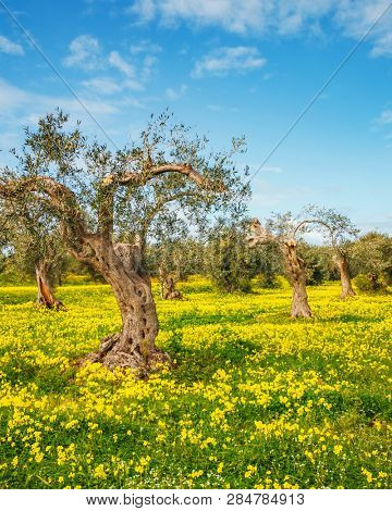 Incredible flowering field in an olive grove. Location place Island Sicily, Italy, Europe. Scenic image of spring time fresh green meadows in sunny day. Vacation season. Discover the beauty of earth.