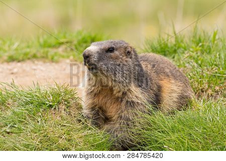 Close View One Natural Marmot (marmota Monax) In Green Grassland