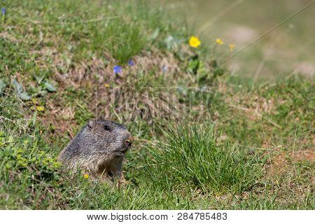 Natural Marmot (marmota Monax) Hiding In Green Grassland, Sunshine