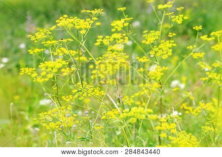 Wild Flowers Yellow Color. Natural Background. Flowery Fon. Forest Herbs In Nature.
