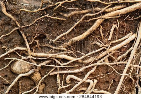 The Brown Root Of The Trees  After  The  Pot Breaking Out