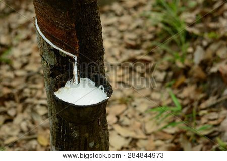 The Black Pot With Raw White Water   Rubber  On Rubber Tree At The Farmland