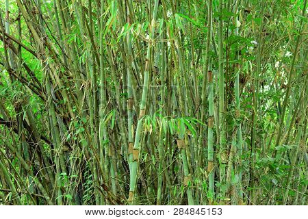 The Green Clump Of Wide Bambooin The Forest