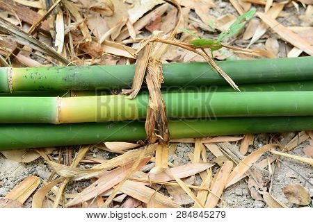 Green Bamboo Bundle On Dry Soil  Ground